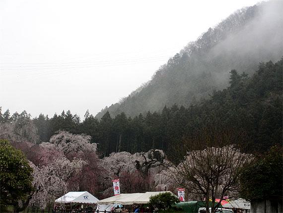 hanami20130330a.jpg