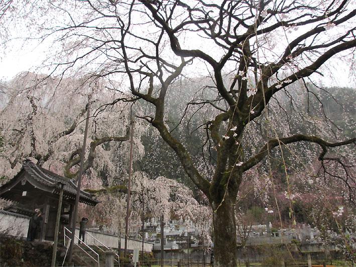 hanami20130330l.jpg