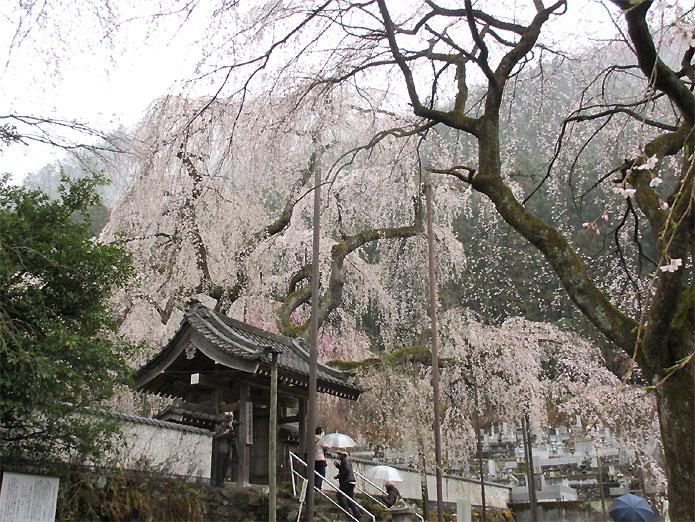 hanami20130330m.jpg