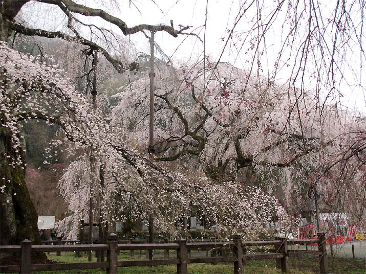 hanami20130330p.jpg