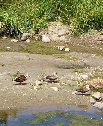 川原の鳥達