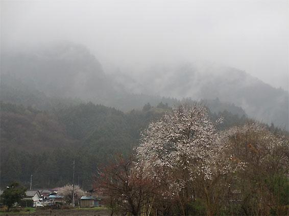 hanami20130330.jpg