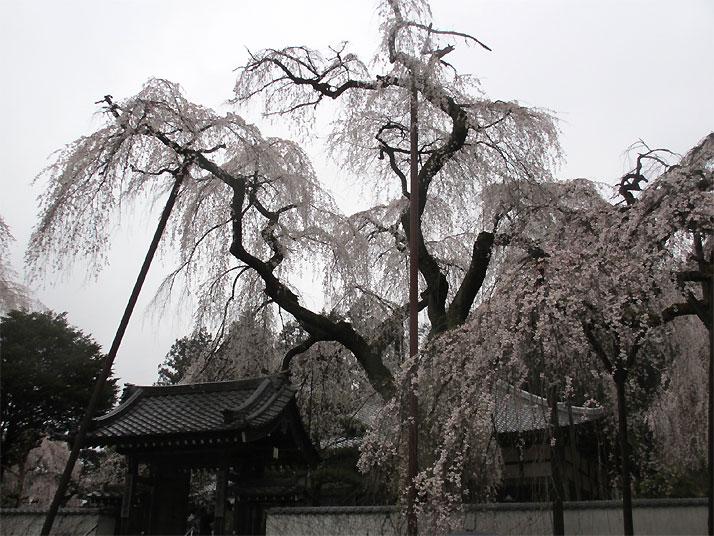 hanami20130330e.jpg
