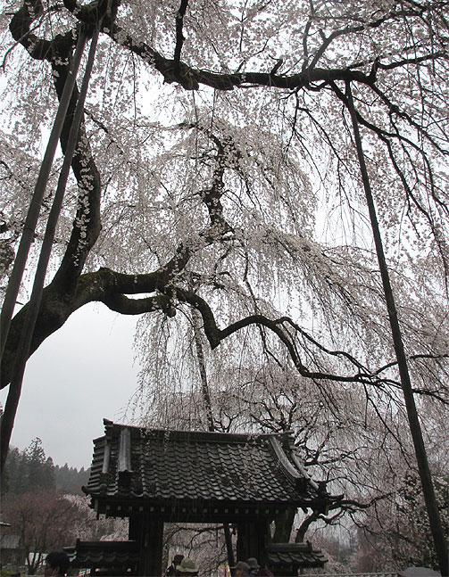hanami20130330h.jpg