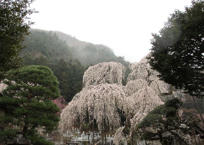 hanami20130330i.jpg