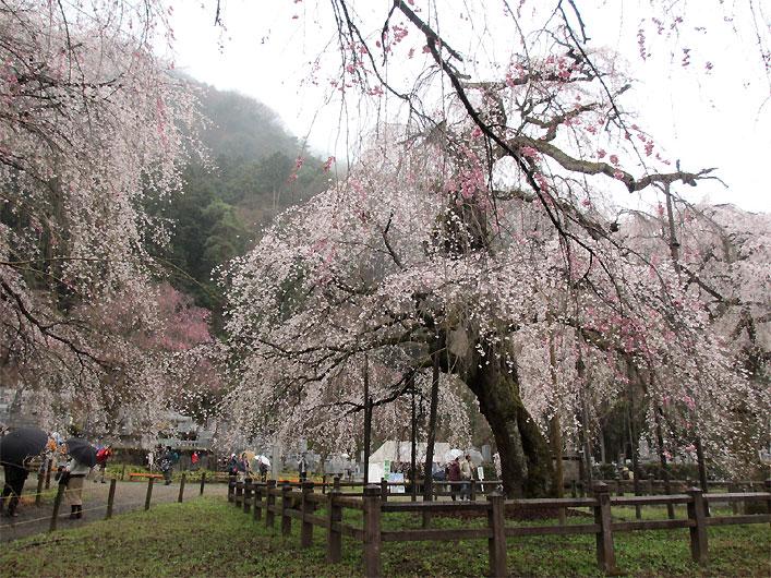 hanami20130330o.jpg