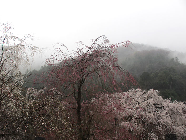 hanami20130330w.jpg