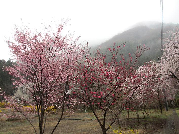 hanami20130330x.jpg