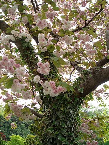 ツタに覆われた桜の樹と花