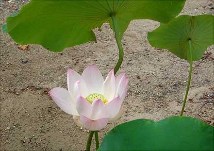 黄檗宗萬福寺 蓮の花