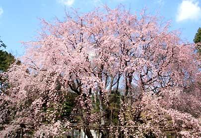 六義園 枝垂れ桜