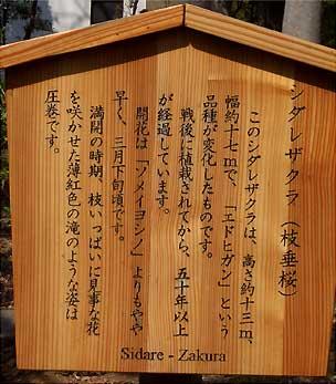 枝垂桜 説明