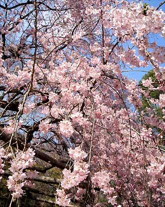 六義園 枝垂れ桜(近接)